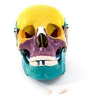Модел на човешки череп с оцветени кости