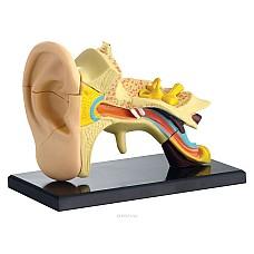 Ухо - мини анатомичен модел
