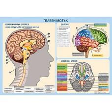Главен мозък - мини табло А3