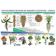 Табло Вегетативни органи на висшите растения - Корен