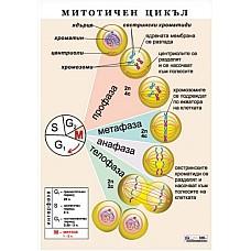 Митотичен цикъл A4