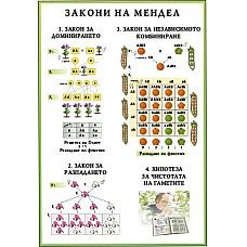 Генетика. Закони на Мендел